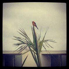 #yellow #bird #California #hilton #hotel #LaJolla #palm #tree San Diego Hotels, La Jolla, Palm, California, Bird, Yellow, Painting, Birds, Painting Art