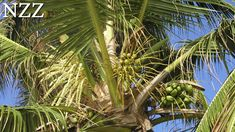 Kokos-Palme: Der Baum des Lebens  - Dokumentation von NZZ Format (2005) Plant Leaves, Plants, Tree Of Life, Coconut, Nth Root, Seychelles, The Documentary, Flora, Plant
