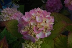 5 colourful shrubs for autumn - Hydrangea macrophylla - perfect for wreath making too :)