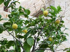 Maale Adumim, Israel - Gardens, 06 neighborhood (צמח השדה), lemon tree