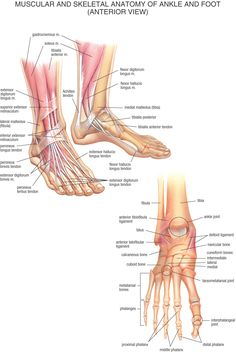 Muscular and Skeletal Anatomy of Ankle and Foot (Anterior View) Ankle Anatomy, Foot Anatomy, Human Anatomy, Anatomy Images, Psoas Release, Anatomy Models, Medical Anatomy, Muscle Anatomy, Anatomy And Physiology