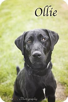 Crown Point, IN - Labrador Retriever Mix. Meet Ollie, a dog for adoption. http://www.adoptapet.com/pet/12817109-crown-point-indiana-labrador-retriever-mix