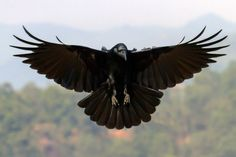 Dark crow soaring to you. Human body, legs, face, torso. Crow wings, beak.