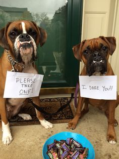 Boxer Dogs Funny is part of Boxer dogs - The Funny Boxer Dog Funny Animal Pictures, Dog Pictures, Funny Animals, Cute Animals, Farm Animals, Boxer Puppies, Cute Puppies, Cute Dogs, Boxer Breed