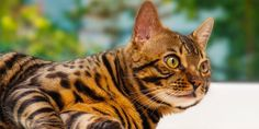 8 Things All Bengal Cat Owners Know to Be True.  If you're considering a Bengal cat as your new fur baby, here are things you need to know. Read more: https://www.bengalcats.co/things-bengal-cat-owners-know/