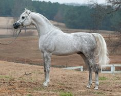 Beautiful grey Egyptian Arabian stallion, Ramses Mishaal Nadir (Mishaal HP x Ramses Minx) #mishaalhp