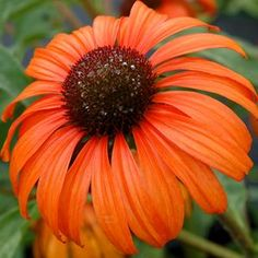 "Echinacea, Tangerine Dream. Beautiful bold 4"" orange blooms will put on a prominent display in your garden. Holds its color very well, has wide overlapping petals, and produces a lovely honey scent. 30"""