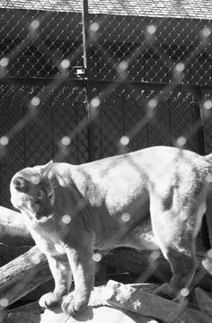 Thunder the Mountain Lion at Wildwood Park in Marshfield, WI.