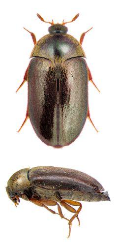 Attagenus unicolor japonicum Dermestidae