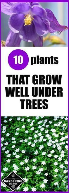 10 plants that grow well under trees. Try planting one of these in your garden. Includes shrubs, annuals and perennials #gardenshrubslandscaping