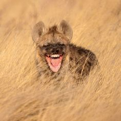 This grinning hyena looks more than pleased to kick off Photographer Bridgena Barnard captured the sight in South Africa's Kgalagadi Transfrontier Park. African Wild Dog, African Safari, Funny Animals, Cute Animals, Smiling Animals, Animal Funnies, Safari Animals, Baby Animals, South Africa Safari