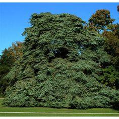Cedros. Elegancia suprema.  Los cedros son árboles grandes, con hojas en forma de agujas punzantes, aisladas sobre los brotes y agrupadas en rosetas sobre las ramas de más de un año. Sus gruesos conos ovoides y enderezados maduran a los dos años, no aparecen más que sobre los árboles de cierta edad. Los cedros están muy extendidos en los parques y jardines en razón de sus pocas pretensiones y la facilidad de su cultivo, prosperan en todos los terrenos, pero temen mucho el exceso de humedad.
