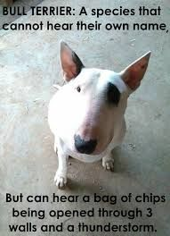 Image result for funny pictures of bull terriers