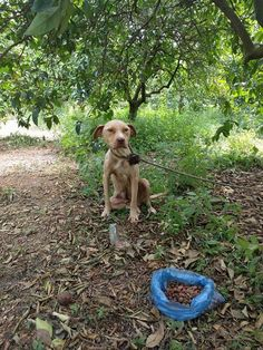 PIT BULL IS LEFT TO DIE CHAINED TO A TREE