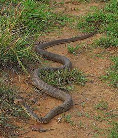 An eastern brown snake (Pseudonaja textilis). Sorry, no closeups of this one. Anaconda, Inland Taipan, Danger Noodle, Deadly Creatures, Snake Photos, Poisonous Snakes, All About Snakes, Snake Venom, Komodo Dragon