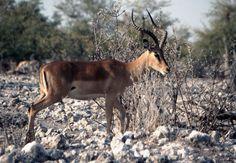 Blackfaced impala