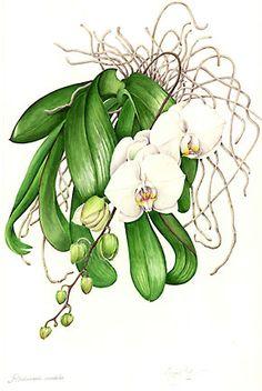 Phalaenopsis amabalis