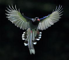 #599 藍鵲黯凌 | 台灣藍鵲.攝於台灣 台北市 草山 Taiwan Blue Magpie, taken at Ya… | Flickr