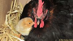 Caring for Broody Hens: Facilitating Egg-hatching