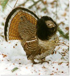 Ruffed Grouse - from Appalachian Mountains, across Canada to Alaska