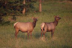 Yellowstone National Park, National Parks, Cow Elk, Elk Pictures, Elk Hunting, Animal Games, Wildlife Art, Big Game, Creature Design