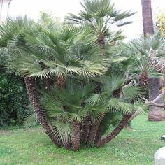 Palmier nain- chamaerops humilis Tropical Garden Design, Tropical Backyard, Tropical Plants, Palm Trees Landscaping, Tropical Landscaping, Backyard Landscaping, Small Palm Trees, Mexican Palm Tree, Modern Landscaping