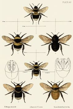 Bees Illustration Vintage Bee A Tattoo Bees Knee Bumble Bees Botanical Illustration, Botanical Prints, Illustration Art, Illustrations, Bumble Bee Illustration, Botanical Drawings, Bee Tattoo, Get A Tattoo, I Love Bees
