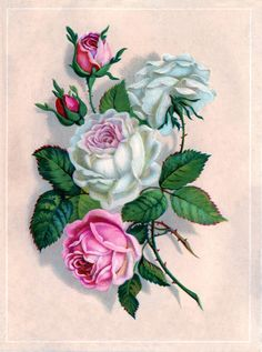 Pink  white cabbage roses ~ trade card