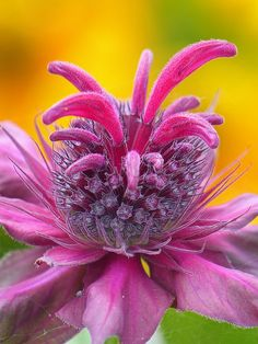 Monarda 'Raspberry Wine' | Flickr - Photo Sharing!