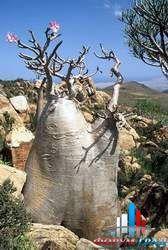 Адениум в природе