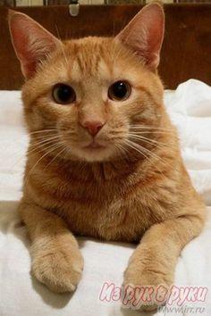 Фото толстого рыжего кота