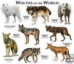 Wolves of the world . One thing, though. Ethiopian wolves are canids, but not actual members of the wolf species. All true wolves (including domestic dogs) are listed under CANIS LUPUS, while the Ethiopian wolf is listed under CANIS SIMENSIS. Wolf Love, Gray Wolf, Maned Wolf, Wolf Black, Beautiful Creatures, Animals Beautiful, Animal Espiritual, Types Of Wolves, Animal Illustrations