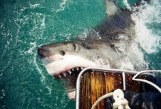Great White nibbles on boat
