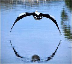 Pelican in Jervis Bay
