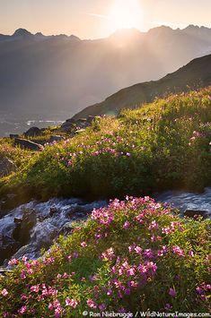 Wildflowers bloom along a waterfall in the Mt. Marathon Bowl, Seward, Alaska