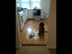 """Task: """"Wait"""" at a threshold Here: Service dog in training Emmy, 3 month old German Shepherd from Team Huerta Hof, practices wait with a handler on her team. Emmy is told to """"wait"""" and does not cross the threshold until she is told """"okay"""" then she returns right to her handler."""