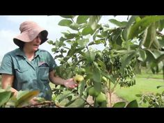 The Guava Tree is a sweet, fragrant tropical fruit ranges in size from a small egg size to that of a medium apple. Guava Fruit Tree, Guava Plant, Fruit Trees, Australian Nursery, Hobby Farms, Farming, Tropical, Mexican, Plants