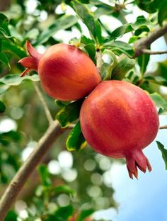 How to grow pomegranates, one of the friendliest fruit trees to grow in the home garden, as long as you live in a suitable environment.