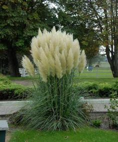 De Cortaderia selloana is een hoog opgaand siergras en kan met gemak 300cm hoog worden. Het blad is blauwgroen met scherpe randen. Het bloeit van augustus tot en met oktober met flinke pluimen in lichtroze en wit. De Cortaderia selloana is winterhard, maar jonge planten hebben wel bescherming nodig tegen een teveel aan regen en vocht. Oudere planten met grote pollen zijn winterhard tot -16 graden Celsius. In maart snoeit u het dode blad zo ver mogelijk terug. .