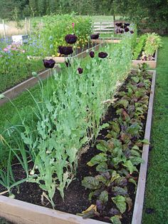 Flowers down the middle of the raised bed dividing the veggies; how to combine a cutting garden with a veggie garden. Genius!
