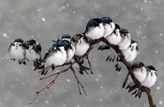 swallows huddled for warmth, photographed by keith williams and david duprey
