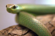 Philodryas olfersii – Também conhecida como boiubu e cobra-cipó, a cobra-verde mede até um metro de comprimento e pesa até 250 gramas. Além do corpo coberto por escamas verdes, possui o topo da cabeça marrom e faixas negras nas laterais da face.
