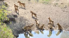 Lions Ignore Prey to Lap Up Water During Drought in South Africa (PHOTOS) | The Weather Channel
