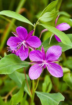 Flower - Alaska Style