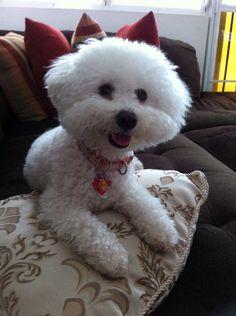 Maja smile ! Beautiful Beautiful, Animals Beautiful, Pet Dogs, Dog Cat, Bichon Dog, Coton De Tulear, Dog Memorial, Puppy Eyes, Puppys