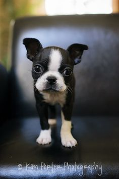 How can you resist this face? 8 weeks old boston terrier puppy named Chloe from Oceanside, California, USA. http://www.bterrier.com/boston-terrier-puppy-named-chloe-from-oceanside-ca/