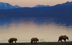 Grizzly Family at Kluane Lake, Kluane - Canada  I have camped here several times. Truly awesome.