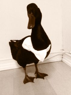 Pet Duck, Token :) Cayuga duck, an indoor pet