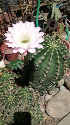 Cactus del jardín de mi madre