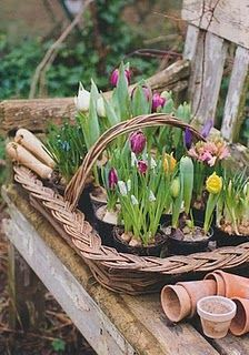 outdoor garden earthy, comfortable, used, lived in, and beautiful. I love the early Spring tulips in the basket! A favorite flower of mine. Beautiful Gardens, Beautiful Flowers, Spring Bulbs, Deco Floral, Spring Sign, Plantar, Spring Has Sprung, My Secret Garden, Early Spring